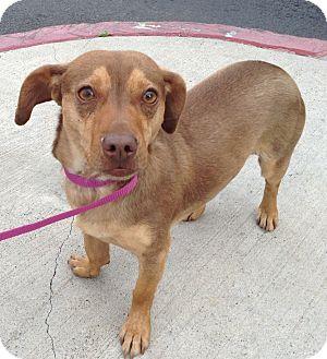 Dachshund/Corgi Mix Dog for adoption in Santa Ana, California - Benny
