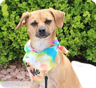 Chihuahua/Terrier (Unknown Type, Small) Mix Dog for adoption in Las Vegas, Nevada - WINIFRED (CAT FRIENDLY)