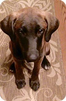 Labrador Retriever/Weimaraner Mix Puppy for adoption in Glenburn, Maine - Ingot