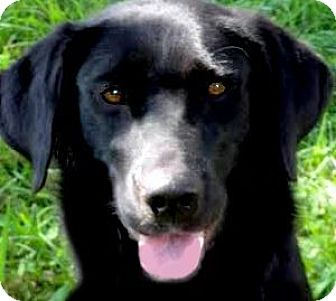Labrador Retriever Dog for adoption in Winchester, Kentucky - MISS JESSIE(LOVES HER FAMILY!!