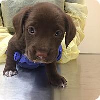Adopt A Pet :: Chewbacca (Star Wars Pup) - Cumming, GA