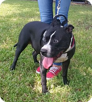 Staffordshire Bull Terrier Mix Dog for adoption in Houston, Texas - Mia