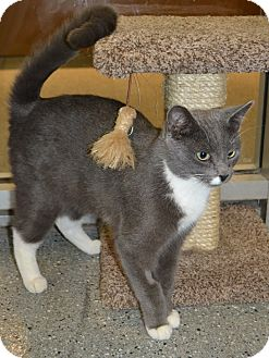 Domestic Shorthair Cat for adoption in Michigan City, Indiana - Matthew