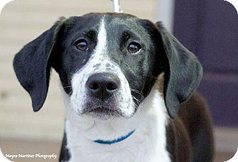 Border Collie/Pointer Mix Puppy for adoption in Nashville, Tennessee - Holley