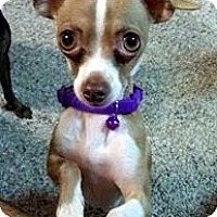Adopt A Pet :: Teacup Chapo - Oakley, CA