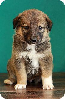 Shepherd (Unknown Type) Mix Puppy for adoption in Waldorf, Maryland - Prada
