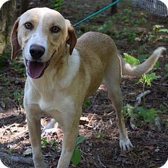 Labrador Retriever Mix Dog for adoption in Minneapolis, Minnesota - Bowie
