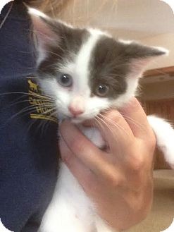 Domestic Shorthair Kitten for adoption in Cashiers, North Carolina - Holly