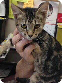Domestic Shorthair Kitten for adoption in St. Francisville, Louisiana - Peggy Sue