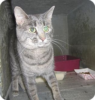 Domestic Shorthair Cat for adoption in Kankakee, Illinois - Skiddy