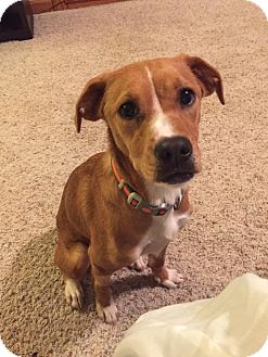 Hound (Unknown Type) Mix Dog for adoption in Laingsburg, Michigan - Biscuit
