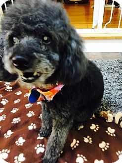 Poodle (Miniature) Dog for adoption in Spring City, Tennessee - Nahla:Gentle Girl! (NJ)