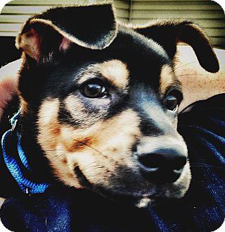 Shepherd (Unknown Type)/Weimaraner Mix Puppy for adoption in Billerica, Massachusetts - Marshall
