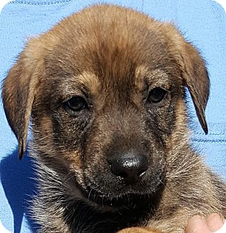 Retriever (Unknown Type)/Shepherd (Unknown Type) Mix Puppy for adoption in Colonial Heights, Virginia - Loki