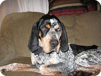 Coonhound/Bluetick Coonhound Mix Dog for adoption in Ontario, Ontario - Earle-Adopted!