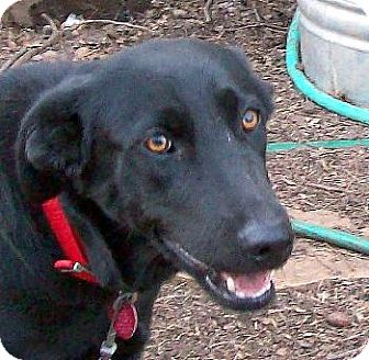Labrador Retriever Mix Dog for adoption in Guthrie, Oklahoma - Boomer