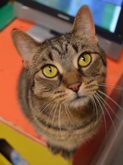 Domestic Shorthair/Domestic Shorthair Mix Cat for adoption in Oshkosh, Wisconsin - Precious Pancake