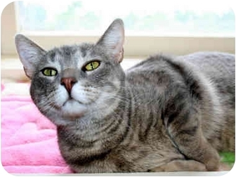 Colorpoint Shorthair Cat for adoption in Byron Center, Michigan - Patty