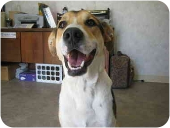 Foxhound/German Shepherd Dog Mix Dog for adoption in Rock Springs, Wyoming - Kootany