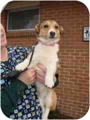 Corgi/Sheltie, Shetland Sheepdog Mix Dog for adoption in Baltimore, Maryland - ELLIE
