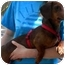 Photo 2 - Dachshund Dog for adoption in Humble, Texas - JR