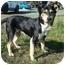 Photo 1 - German Shepherd Dog/Husky Mix Dog for adoption in Sacramento, California - Bodhi