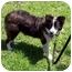 Photo 3 - Australian Shepherd Puppy for adoption in San Pedro, California - ROSIE