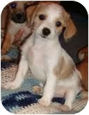 Chihuahua/Miniature Poodle Mix Puppy for adoption in Foster, Rhode Island - Duke
