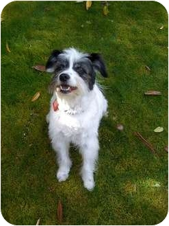 Terrier (Unknown Type, Small) Mix Dog for adoption in Portland, Oregon - Andrew