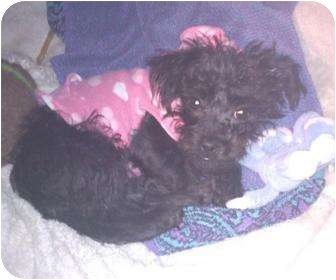 Poodle (Miniature)/Terrier (Unknown Type, Small) Mix Puppy for adoption in Poway, California - CHLOE
