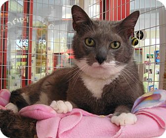 Domestic Shorthair Cat for adoption in Palatine, Illinois - Bart