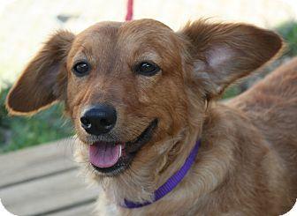 Dachshund/Corgi Mix Dog for adoption in Berea, Ohio - Cutie