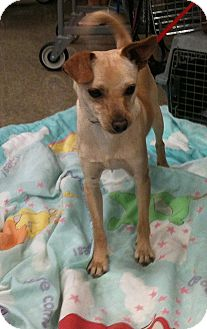 Chihuahua Mix Dog for adoption in Yuba City, California - 04/02 Spanky
