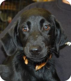 Labrador Retriever Mix Puppy for adoption in Brooklyn, New York - Becky