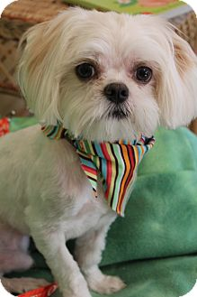 Maltese Mix Dog for adoption in Greenville, Virginia - Louie