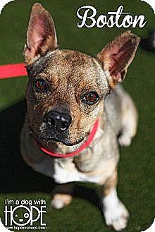 Boston Terrier Mix Dog for adoption in Godfrey, Illinois - Boston