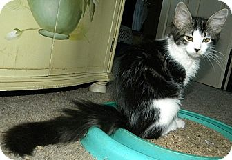 Domestic Longhair Kitten for adoption in Tampa, Florida - Dani