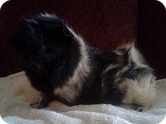 Guinea Pig for adoption in San Antonio, Texas - Bellaruse