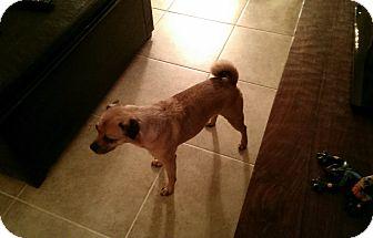 Pug Mix Dog for adoption in Austin, Texas - Bruno
