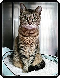 American Shorthair Cat for adoption in Tampa, Florida - Dora