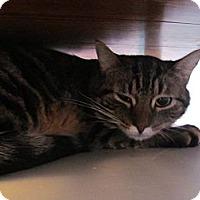 Adopt A Pet :: Tiger Lily - Corinth, NY