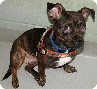French Bulldog Mix Dog for adoption in Brooksville, Florida - 1023424 Dee Dee