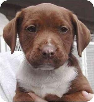 Labrador Retriever Mix Puppy for adoption in Rolling Hills Estates, California - Jenna