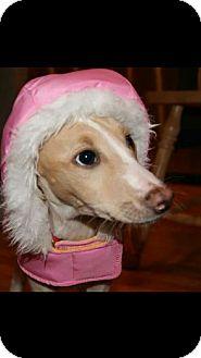 Saluki/Ibizan Hound Mix Dog for adoption in Schaumburg, Illinois - Leia-adoption pending