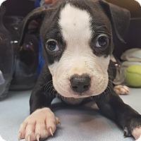 Adopt A Pet :: Columbo - Scottsdale, AZ