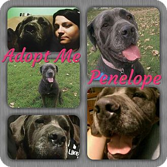 Neapolitan Mastiff Mix Dog for adoption in Cheney, Kansas - Penelope