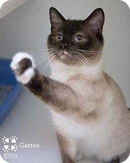 Siamese Cat for adoption in Merrifield, Virginia - Gaston