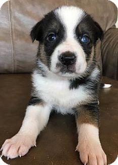 Shepherd (Unknown Type) Mix Puppy for adoption in Fredericksburg, Texas - Felicity