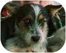 Scottie, Scottish Terrier Mix Puppy for adoption in Lexington, Missouri - Bruce