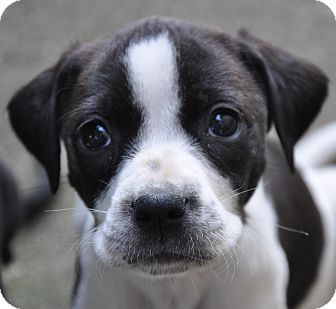 Labrador Retriever/Hound (Unknown Type) Mix Puppy for adoption in Lebanon, Tennessee - Echo